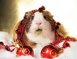 blog-christmas-guinea-pig